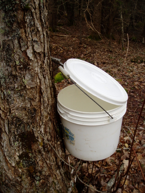 mapleTreeBucket1.jpg